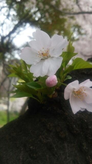 桜の木から小さな枝。先には蕾が1つと可憐なお花が2つ顔を出して、メチャクチャ可愛い♪
