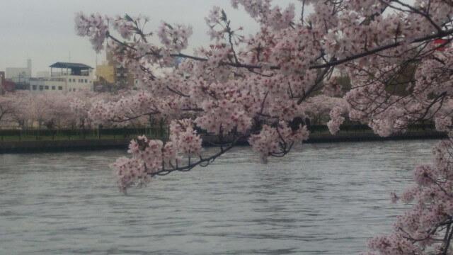 奥は、対岸。満開の桜の木が立ち並ぶ。そして画面手前は立派な枝に付いた満開の桜。