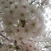 桜の雪洞みたいな満開の桜