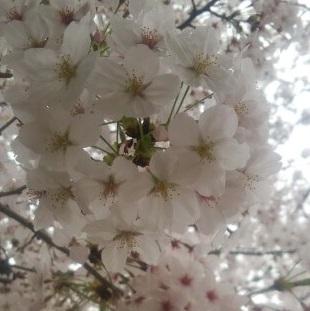 桜の名所[毛馬桜の宮公園]お花見で人ごみ避けるなら午前中が狙い目!のんびりお散歩楽しもう【ブロガー連動企画】#sakura2015bl