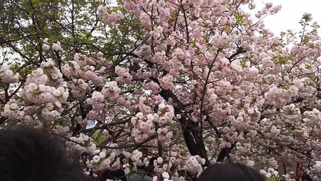 造幣局の桜の木1