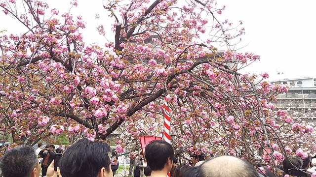 造幣局の桜の木2
