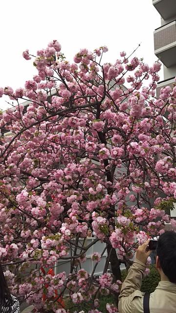 造幣局の桜の木3