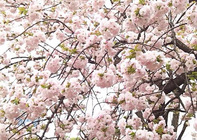 造幣局の桜の木4