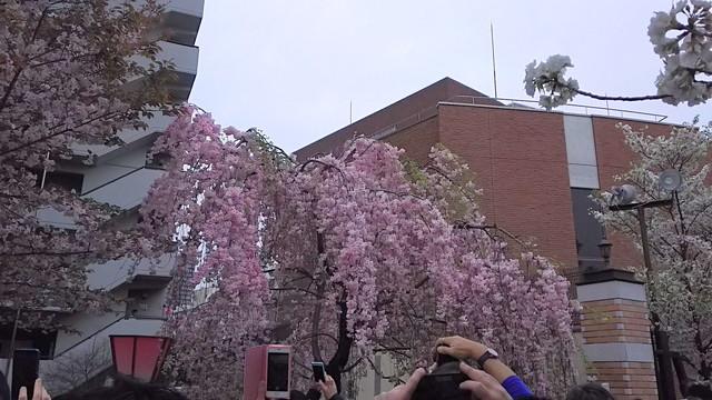 造幣局の桜の木5