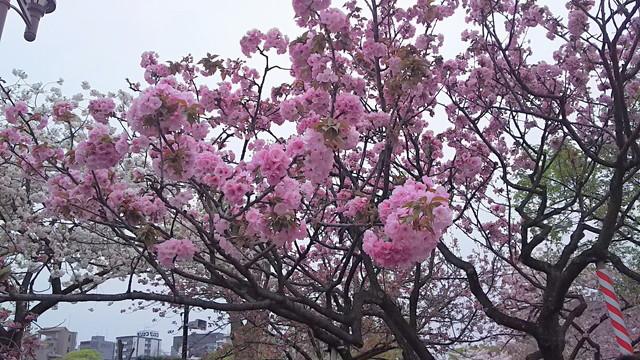 造幣局の桜の木6