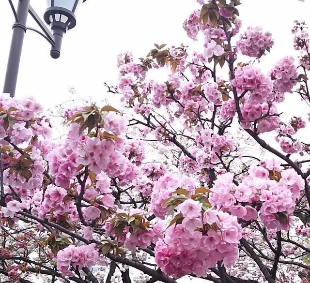 造幣局の桜の木7