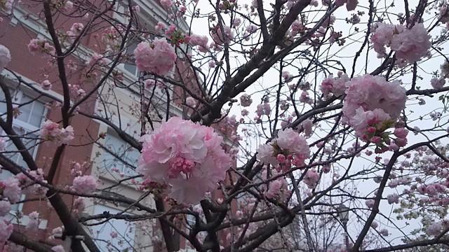 造幣局の桜7
