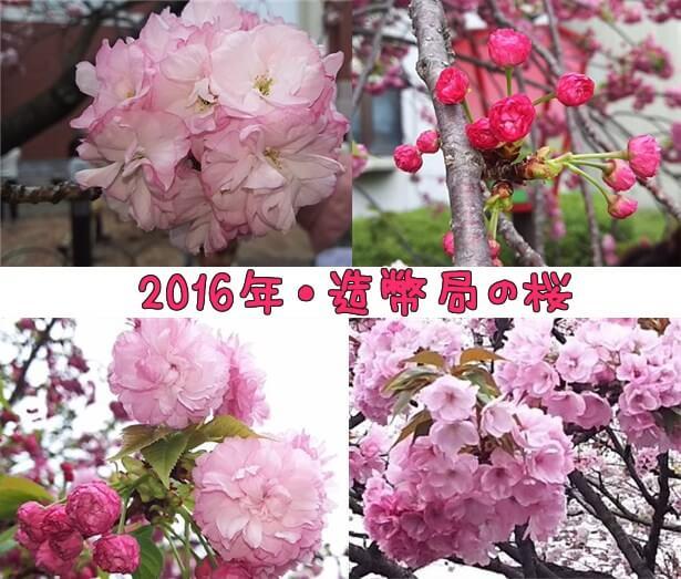2016年造幣局の桜の通り抜けと周辺施設OAPと公園情報